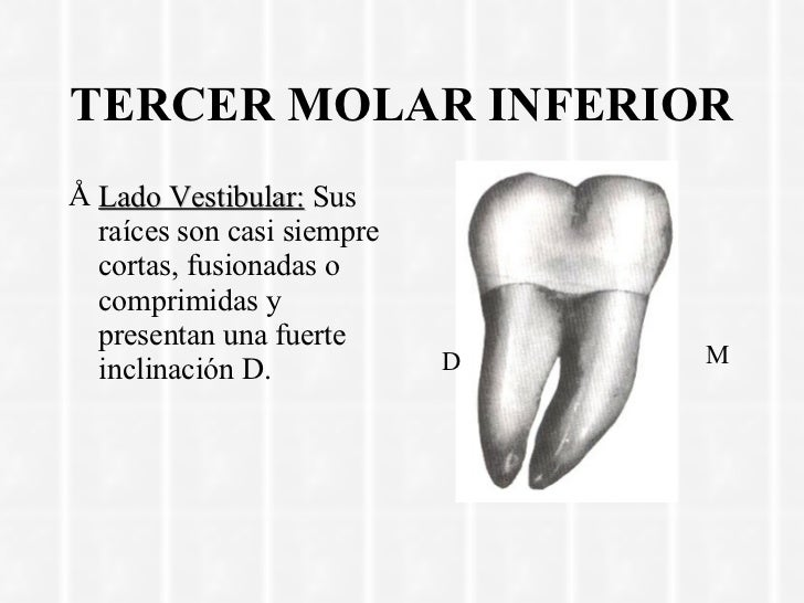 Excelente Tercero Anatomía Molar Maxilar Elaboración - Anatomía de ...