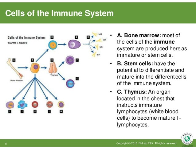 Cells of the Immune System • A. Bone marrow: most of the cells of the immune system are produced here as immature or stem ...