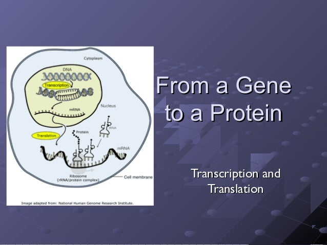 From a GeneFrom a Geneto a Proteinto a ProteinTranscription andTranscription andTranslationTranslation