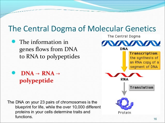 molecular genetics research papers Genetics essays / compare and contrast the genomics revolution with the molecular revolution introduction in this assignment i am going to compare some areas of molecular revolution with genomics revolution.
