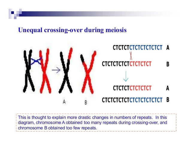 Unequal crossing-over during meiosisThis is thought to explain more drastic changes in numbers of repeats. In thisdiagram,...