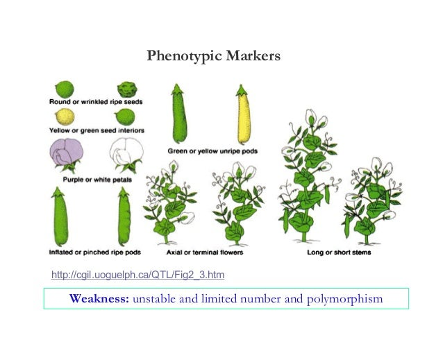 Phenotypic Markershttp://cgil.uoguelph.ca/QTL/Fig2_3.htm    Weakness: unstable and limited number and polymorphism