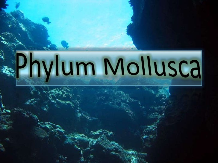 "Introduction•Mollusca is the Latinfor ""soft""•Includes snails, squids,nautilus, octopus,clams, etc.•2nd largest phylumafter..."