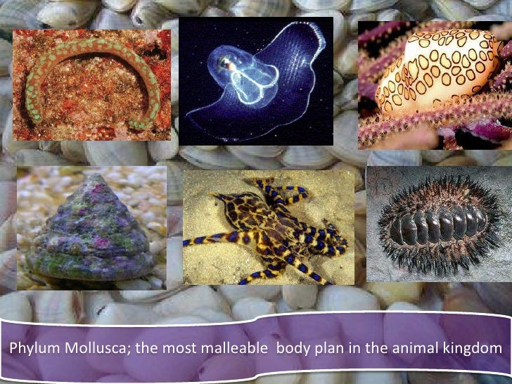 phylum mollusca Slide 3