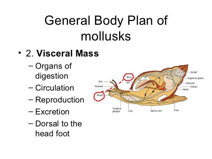 Gastropods Excretion