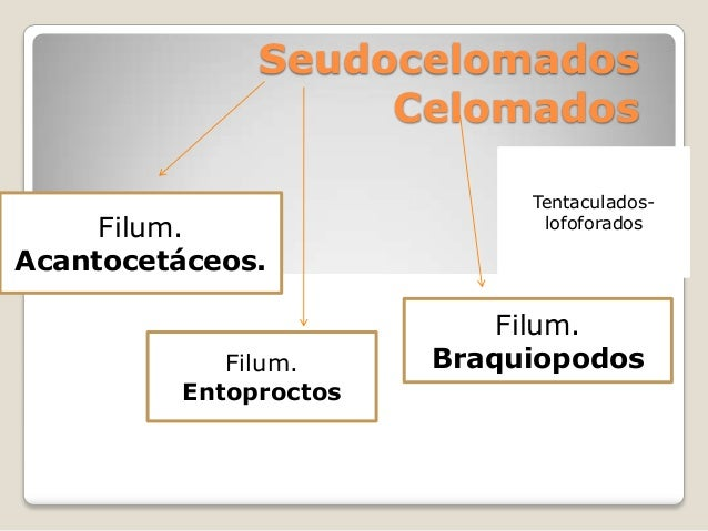 Seudocelomados                   Celomados                            Tentaculados-     Filum.                  lofoforado...