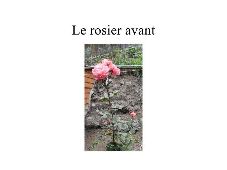 Le rosier avant