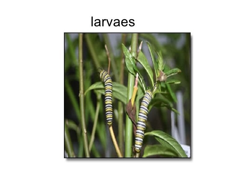 larvaes