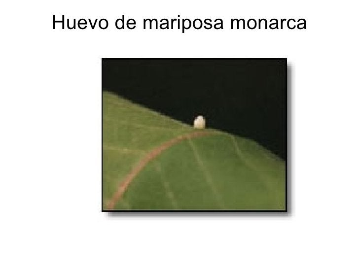 Huevo de mariposa monarca