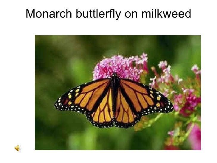 Monarch buttlerfly on milkweed
