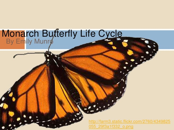 Monarch Butterfly Life Cycle <br />By Emily Munro <br />http://farm3.static.flickr.com/2760/4349825055_29f3a1f332_o.png<br />