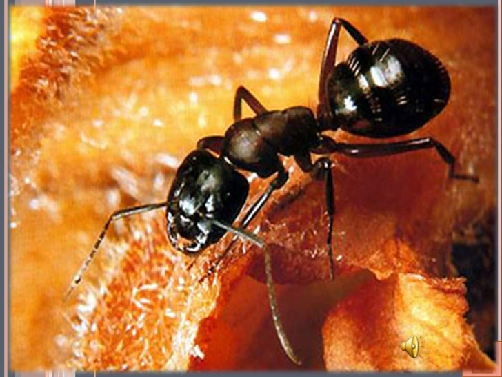 W jadzie mrówek, a także pszczół i w liściach pokrzywwystępuje karboksylowy kwas mrówkowy – bezbarwnaciecz o ostrym, duszą...