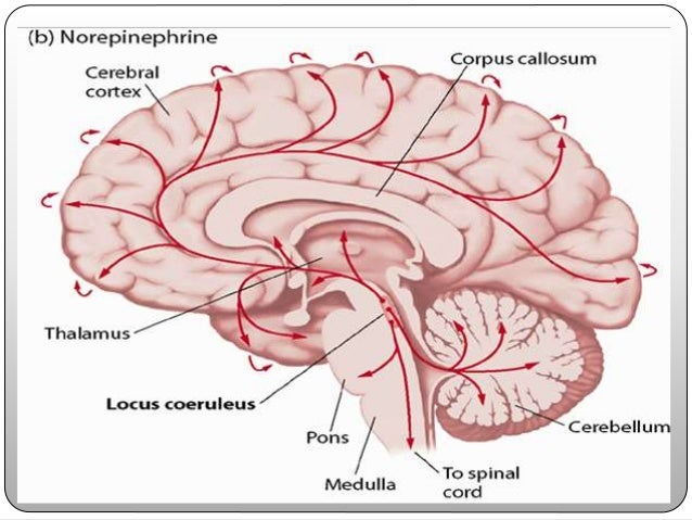 Locus Coeruleus Anatomy Choice Image - human anatomy diagram organs