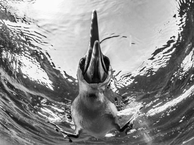 1st Place Winner - Wildlife Photographer of the Year 2015. Sea Lions at Espiritu Santo by Christian Vizl