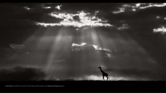 3rd Place: Giraffe at sunrise in the Masai Mara plains by Xavier Ortega (Spain)