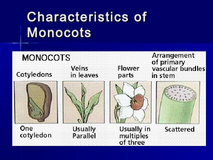 Monocots and dicots 10 Examples Of Monocot Plants