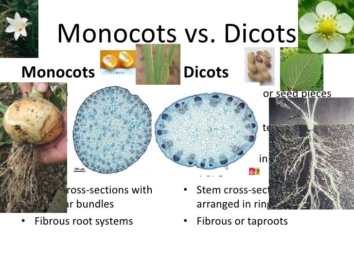 plant anatomy powerpoint slides with Monocots Vs Dicots on Arrows For Diagram as well Microscope Magnification likewise Plant Cell Diagram Nuclear Membrane also Secondary Growth In Plant Roots additionally Crustacean Powerpoint.