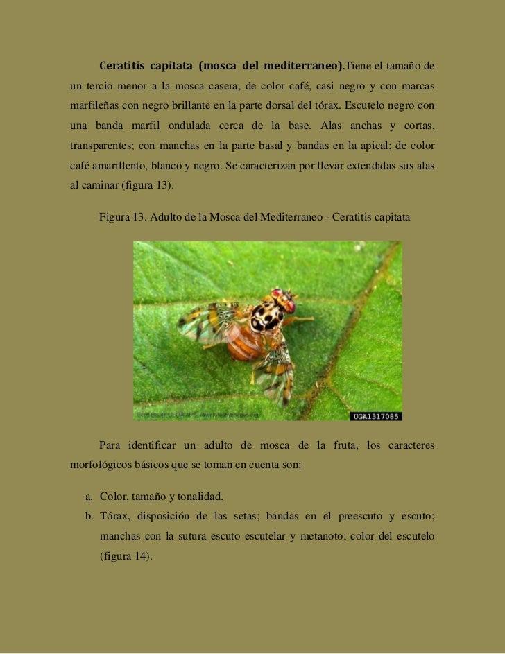 Monografía sobre la mosca de la fruta