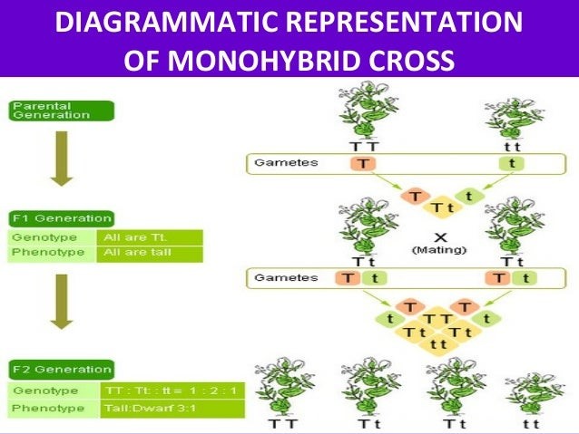 monohybrid cross Inheritance of two pairs of alleles through a number of generations was studied by mendel through dihybrid crosses in one experiment mendel crossed a round green.