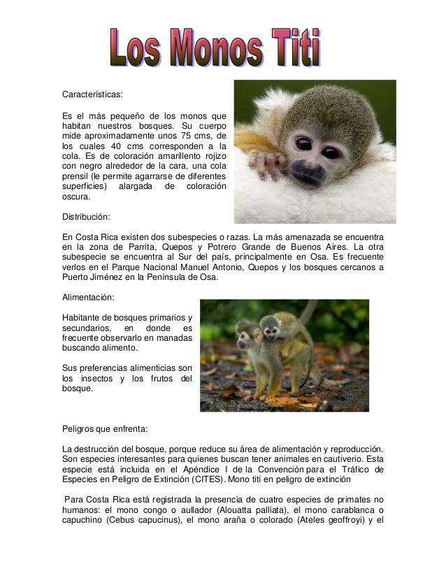 Características:Es el más pequeño de los monos quehabitan nuestros bosques. Su cuerpomide aproximadamente unos 75 cms, del...