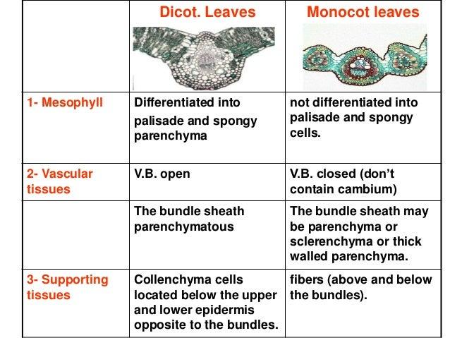 Monocotyledons vs dicotyledons 9