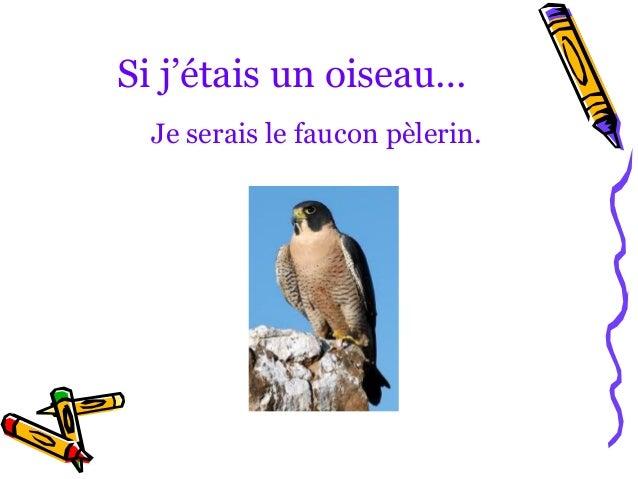 Si j'étais un oiseau…  Je serais le faucon pèlerin.