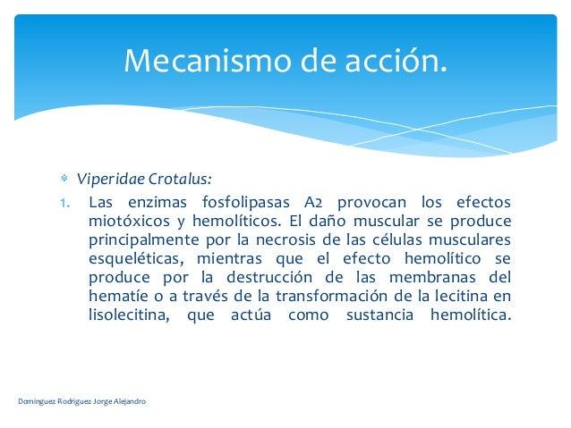 Mecanismo de acción.             Viperidae Crotalus:           1. Las enzimas fosfolipasas A2 provocan los efectos        ...