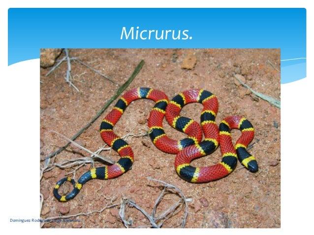 Micrurus.Dominguez Rodriguez Jorge Alejandro