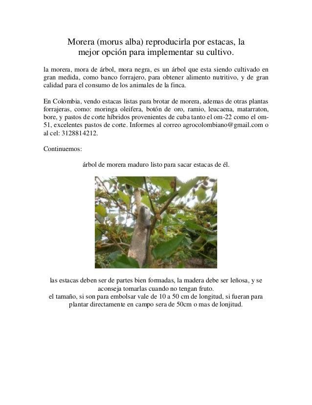 Morera (morus alba) reproducirla por estacas, la mejor opción para implementar su cultivo. la morera, mora de árbol, mora ...