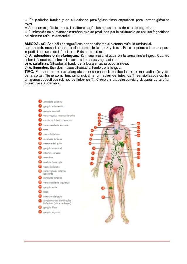 Morfofisiologia II Descripción de Aparatos y sistemas del Cuerpo Huma…