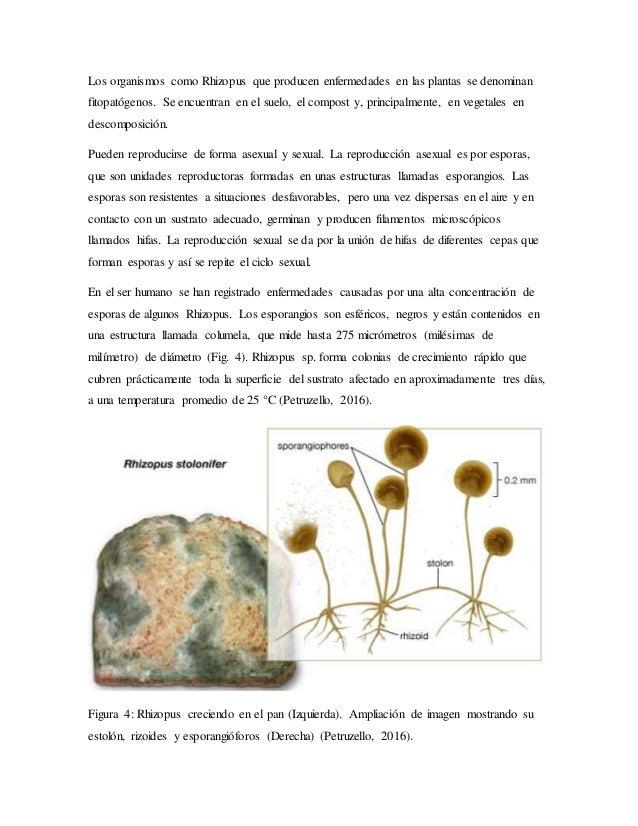 Reproduccion asexual de los hongos filamentosos