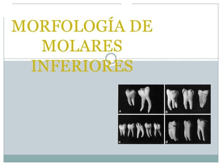 MORFOLOGÍA DE MOLARES INFERIORES<br />
