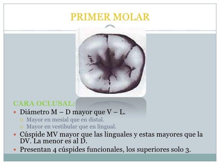 Morfología molares inferiores