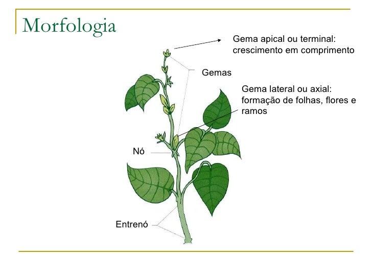 Morfologia e anatomia vegetal Caule