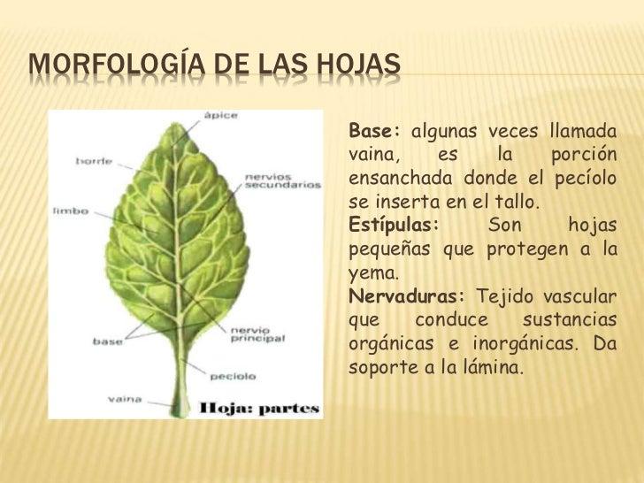 Morfologiahojaguia