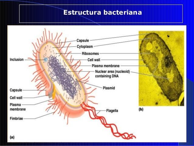 Las Bacterias - Monografias.com