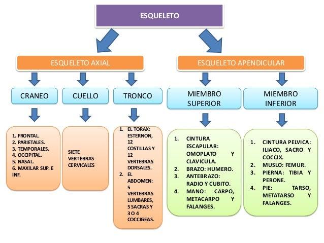 sistema locomotor: esqueleto, articulaciones y musculos