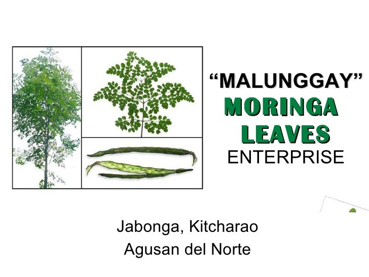 """ MALUNGGAY"" MORINGA  LEAVES   ENTERPRISE Jabonga, Kitcharao Agusan del Norte"