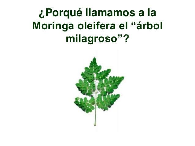 Moringa el Árbol Milagroso