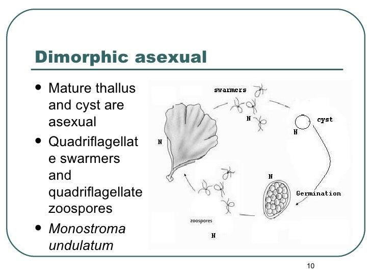 Dimorphic asexual <ul><li>Mature thallus and cyst are asexual </li></ul><ul><li>Quadriflagellate swarmers and quadriflagel...