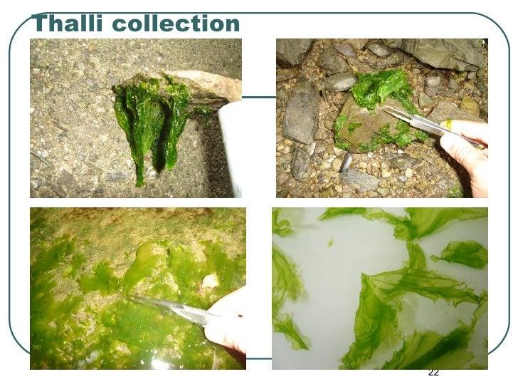 Thalli collection