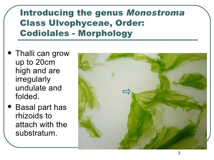 Introducing the genus  Monostroma  Class Ulvophyceae, Order: Codiolales - Morphology <ul><li>Thalli can grow   up   to 20c...