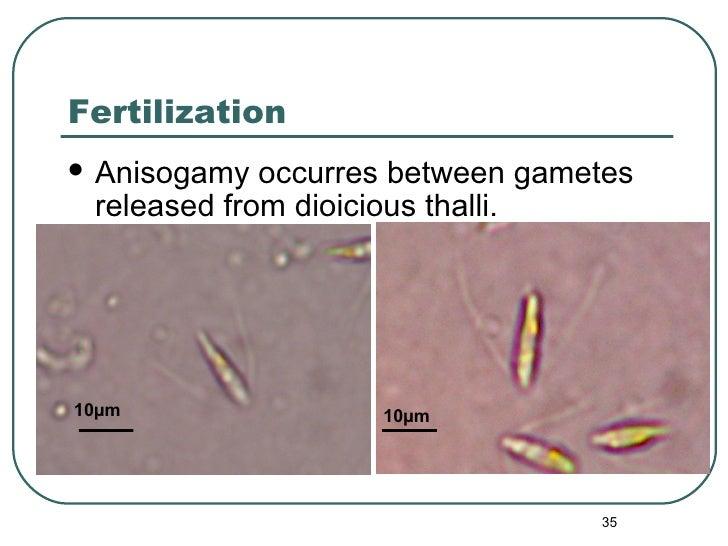 Fertilization <ul><li>Anisogamy occurres between gametes released from dioicious thalli. </li></ul>10 µm 10 µm