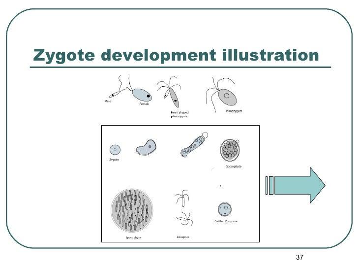 Zygote development illustration