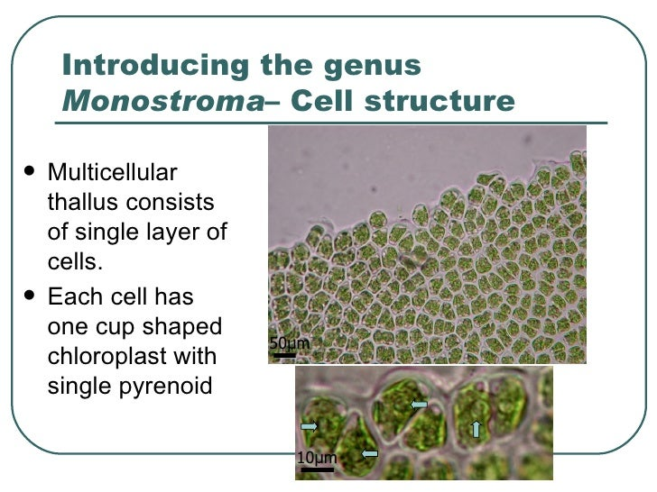 Introducing the genus  Monostroma – Cell structure <ul><li>Multicellular thall us consists of single layer of cells. </li>...