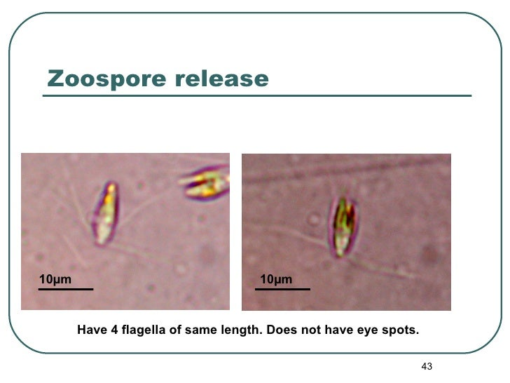 Zoospore release Have 4 flagella of same length. Does not have eye spots. 10 µm 10 µm