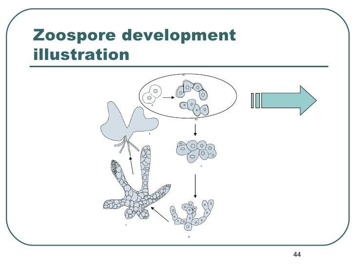 Zoospore development illustration