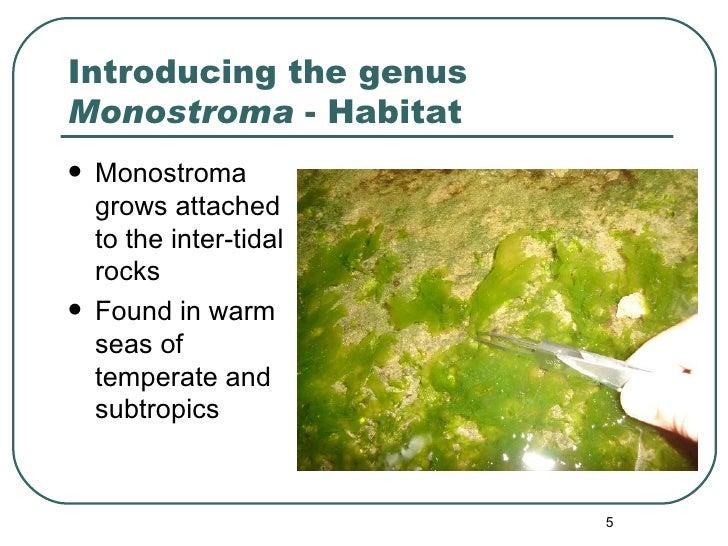 Introducing the genus  Monostroma  - Habitat <ul><li>Monostroma grows attached to the inter-tidal rocks </li></ul><ul><li>...