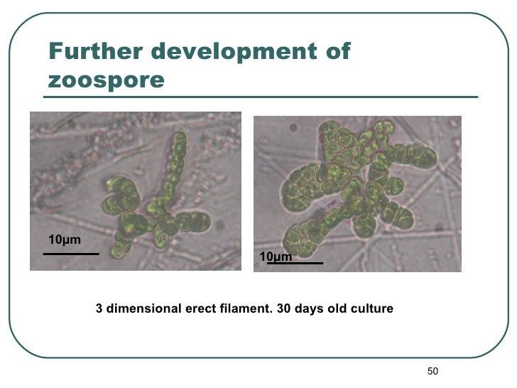 Further development of zoospore 3 dimensional erect filament. 30 days old culture 10 µm 10 µm