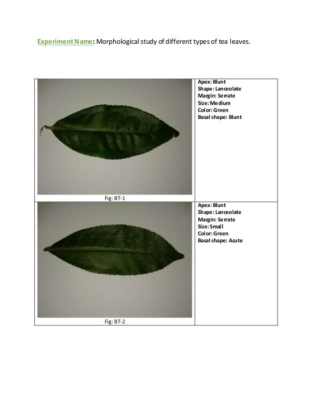 Morphological Study Of Different Types Of Tea Leaves